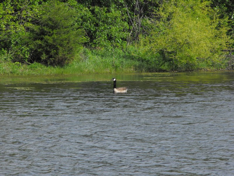 3-22-12, Canadian Geese on Sawmill Pond (1)