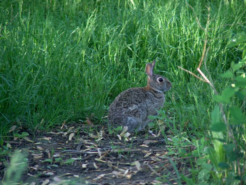 cotton-tail-rabbit