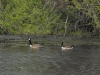3-22-12, Canadian Geese on Sawmill Pond (6)