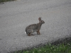 Common Cottontail