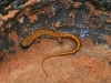 devils-ice-box-newt