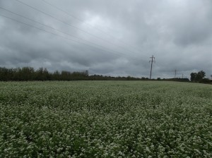 Our Field of Buckwheat