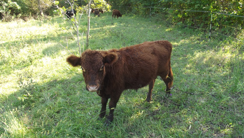 Ozzie. Red polled Dexter Bull Calf. Son of #6 and Arod. He is For Sale