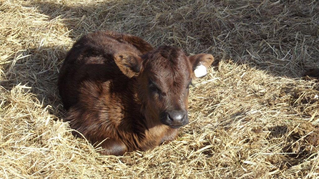 #59 CiCi the Dexter Heifer Calf. Daughter of Houdini and Arod.