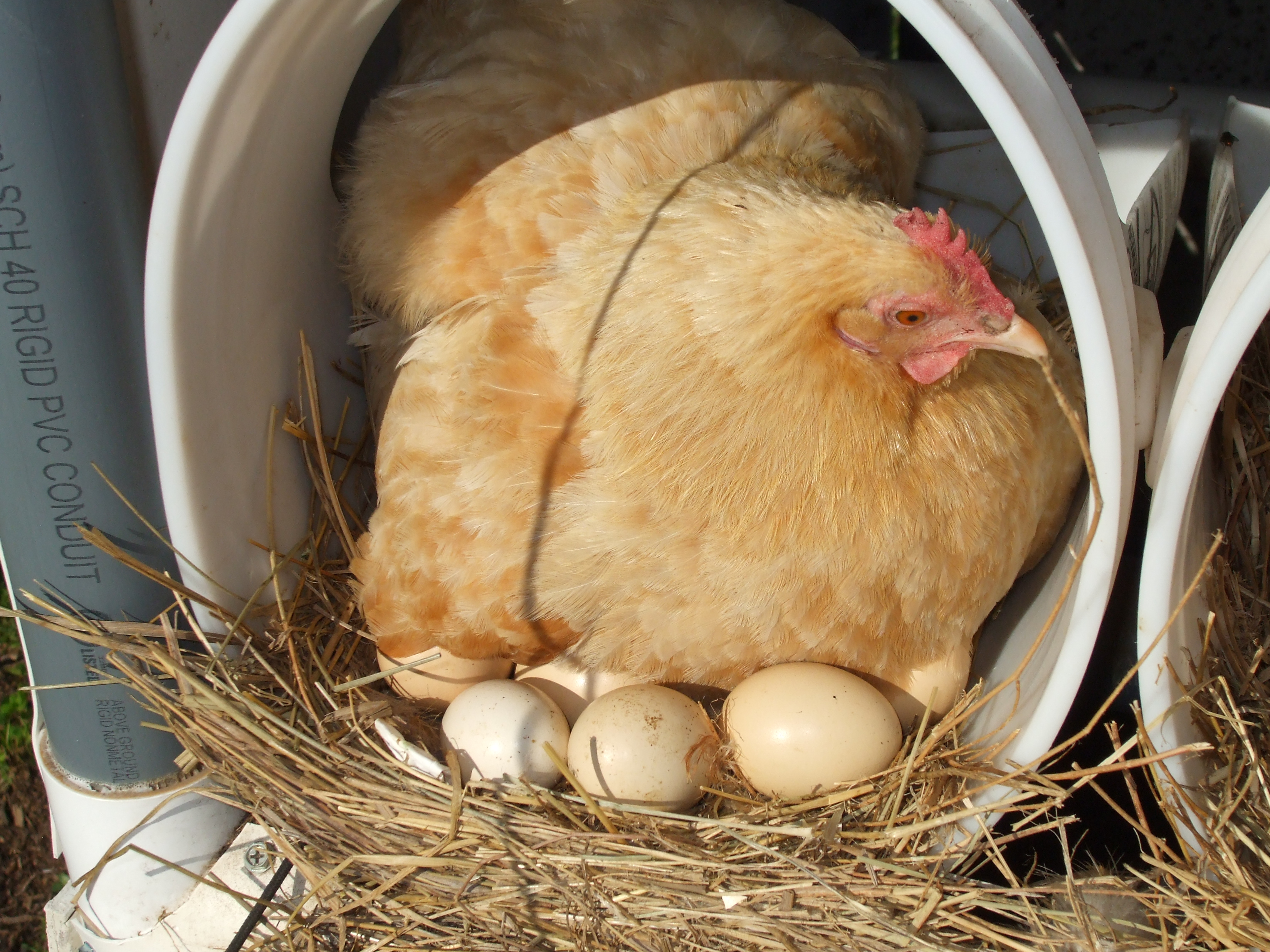 Lewis Family Farm - Broody hen