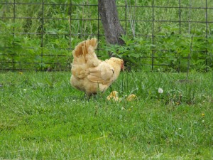Mother Hen, Buff Orpington
