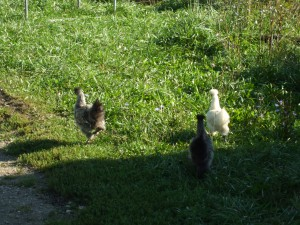 Young Silkie Chickens