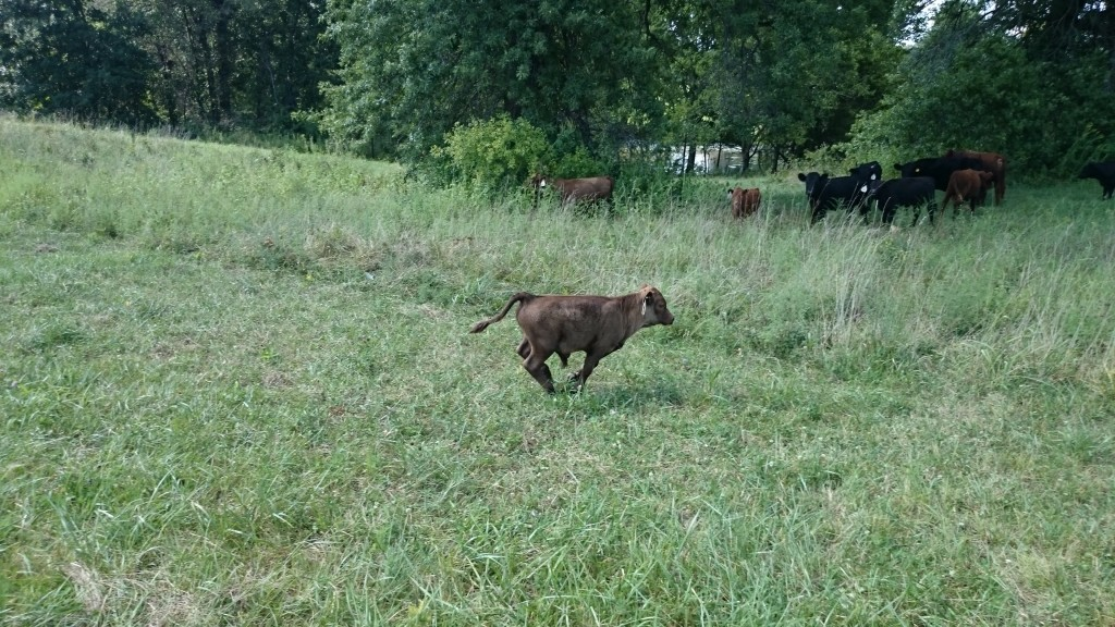 LFF Nigel the Dexter bull Calf
