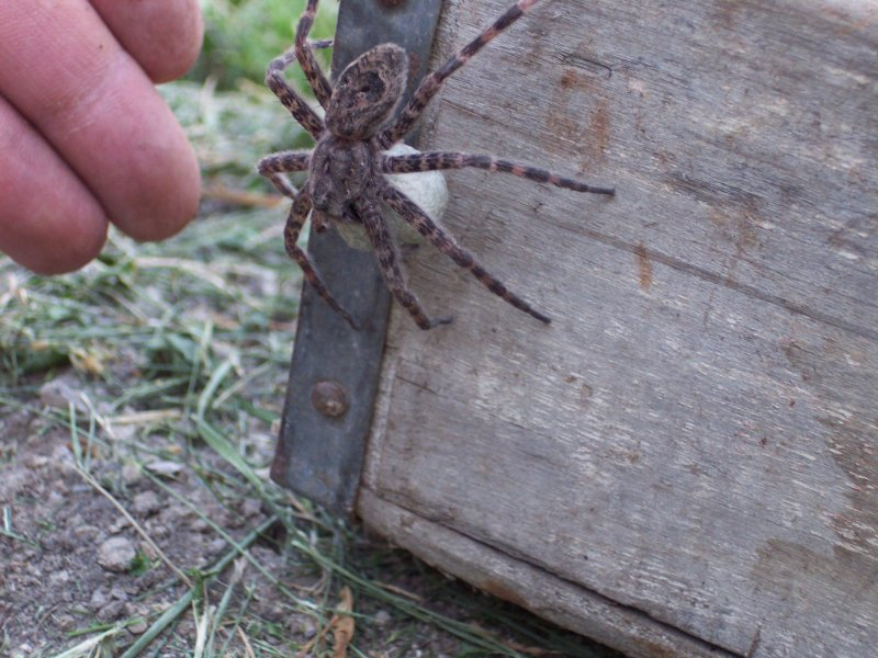 Wolf Spider with egg sack