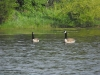3-22-12, Canadian Geese on Sawmill Pond (5)