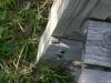 bridge-gecko