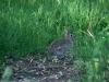 cotton-tail-rabbit
