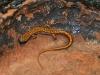 devils-ice-box-newt
