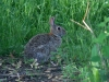 full-grown-rabbit