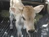 Keakwa Ride Home Week Old Jersey Bull Calf