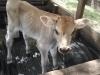 Keakwa Jersey Bull Calf 2