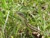 Garter Snake Close Up