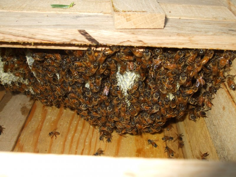 Inside Top Bar Hive