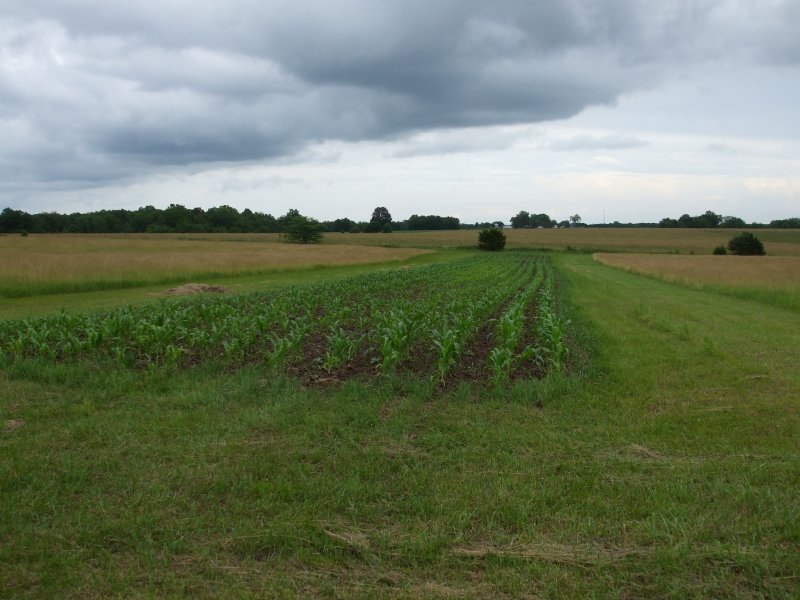 Field of Ried's Corn, 1 acre