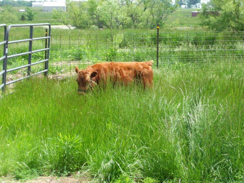 Arod, Dexter Bull Calf