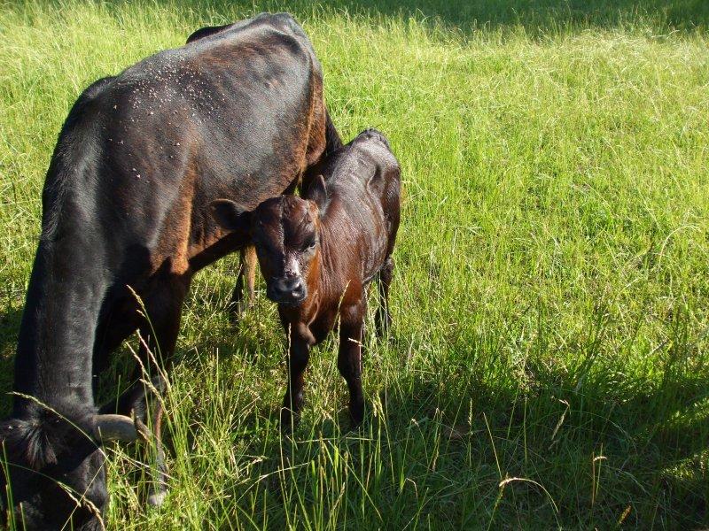 Dexter Cow & Calf
