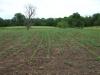 Field of Popcorn & Sunflowers