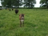 Jersey Girl and LFF Herd