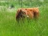 Arod Dexter Bull Calf