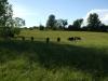 Dexters in Field
