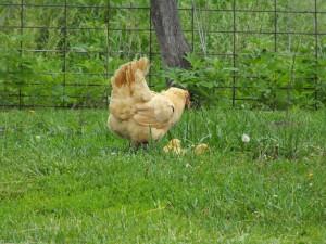 Mother Hen, Buff Orpington