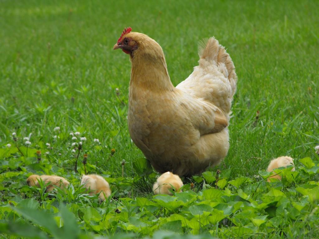Buff Orpington Mother Hen