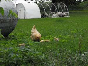 Buff Orpington Mother Hen & Chicks