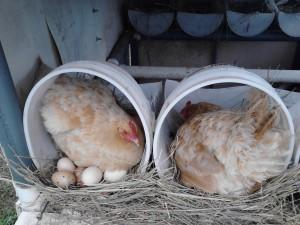 Broody Buff Orpington Hens