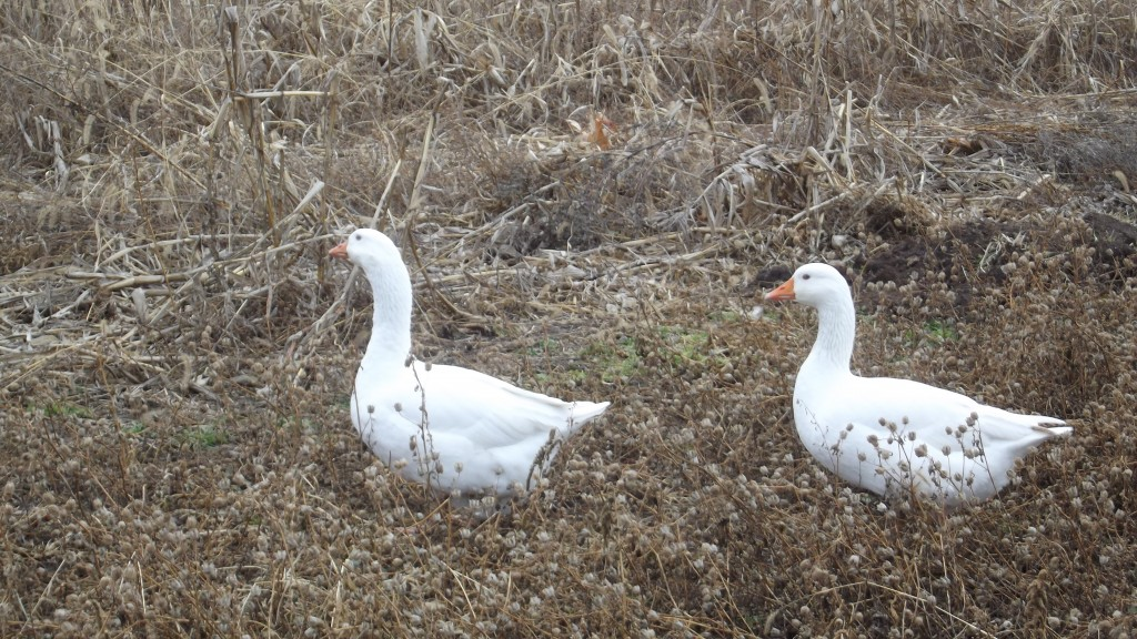 LFF Pair of Embden Geese