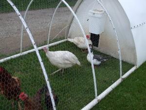 LFF, Midget White Turkey, Muscovy Ducks, Original PVC Chicken Tractor