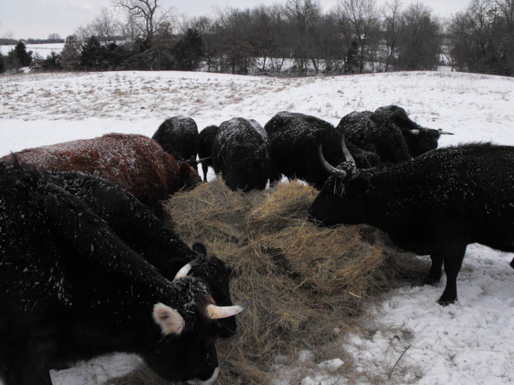 LFF Cattle Herd, Cows, Farm Snow, Hay