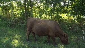 LFF Dexter Cow, Milk Jug