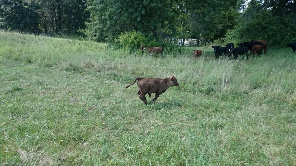 LFF Nigel the Dexter bull Calf