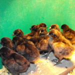 Ayam Cemani Chicks