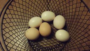 Ayam Cemani Eggs