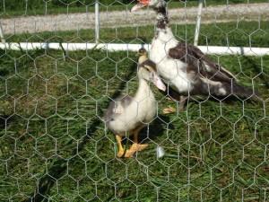 www.JLMissouri.com Muscovy Duck